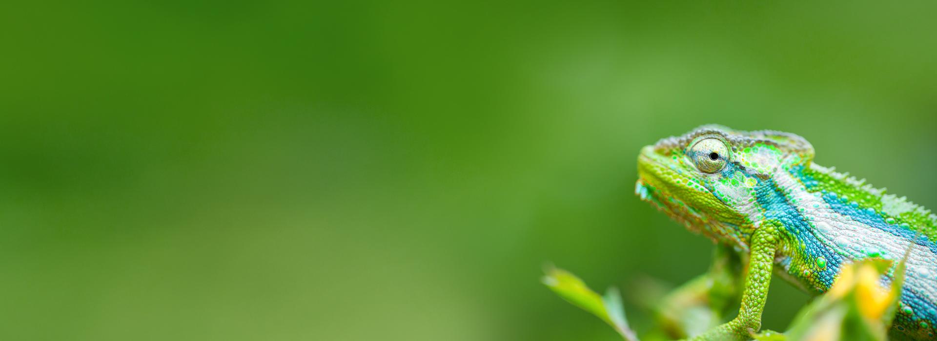chameleon grün